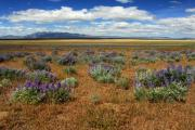 Dry Lake Photo Posters - Springtime In Honey Lake Valley Poster by James Eddy