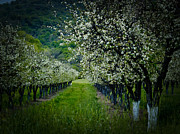 Bill Gallagher Photography Posters - Springtime in the Orchard II Poster by Bill Gallagher