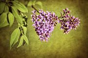 Springtime Lilac Print by Cheryl Davis