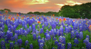 Bluebonnets Prints - Springtime Sunset in Texas - Texas Bluebonnet wildflowers landscape flowers paintbrush Print by Jon Holiday