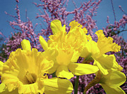 Daffodils Posters - Springtime Yellow Daffodils Art Print Pink Blossoms Blue Sky Baslee Troutman Poster by Baslee Troutman Fine Art Collections