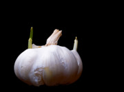 Garlic Framed Prints - Sprouting Garlic Framed Print by Jim DeLillo