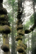 Growth Photos - Spruce Burl Olympic National Park Beach 1 WA by Christine Till