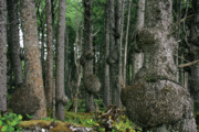 Unusual Photo Originals - Spruce Burls Olympic National Park WA by Christine Till