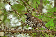 Joshua McCullough - Spruce Grouse