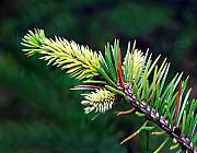 Conifer Tree Prints - Spruce Print by Marilynne Bull