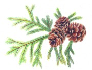Pine Cones Drawings Prints - Spruce Pine Print by Scarlett Royal