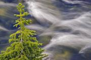 Brookes Framed Prints - Spruce Tree And Creek, Highwood Pass Framed Print by Darwin Wiggett