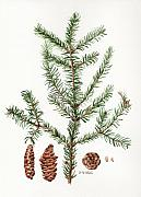 Illustration Painting Originals - Spruce Twig by Betsy Gray