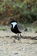 Lapwing Acrylic Prints - Spur-winged Plover And Chick Acrylic Print by Photostock-israel