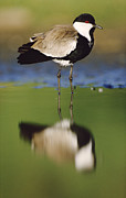Lapwing Posters - Spur Winged Plover With Its Reflection Poster by Tim Fitzharris