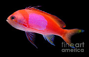 Reef Fish Posters - Square Pink Anthias Poster by Danté Fenolio