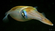 Squid Photos - Squid by Rico Besserdich