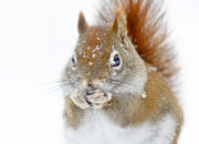 Mirceax Posters - Squirel portrait Poster by Mircea Costina Photography
