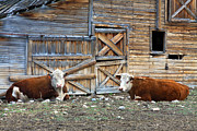 Wooden Barn Posters - Squires Herefords by the Rustic Barn Poster by Karon Melillo DeVega
