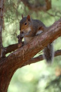 Squirrel Prints Photo Prints - Squirrel 2 Print by Joyce StJames