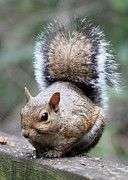 Animal Cards Prints - Squirrel Print by Carol Groenen