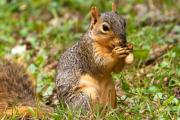 Fox Squirrel Framed Prints - Squirrel Eating A Peanut Framed Print by James Marvin Phelps