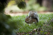 Chad Davis Acrylic Prints - Squirrel feeding time Acrylic Print by Chad Davis