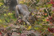 Wild Animals Pyrography Metal Prints - Squirrel In Fall Metal Print by Valia Bradshaw