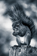 Squirrel Photos - Squirrel in Monochrome by Ari Salmela