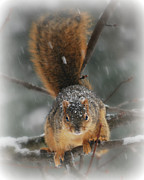Snow Tree Prints Prints - Squirrel  In The Maple Tree Print by Lila Fisher-Wenzel
