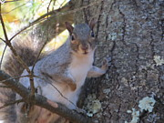 Pamela Turner Prints - Squirrel in Tree Print by Pamela Turner