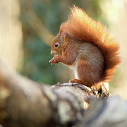 Bark Photos - Squirrel In Winter by Cyril Couture @