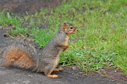 Eastern Fox Squirrel Metal Prints - Squirrel Metal Print by Linda Larson