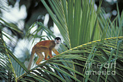 Squirrel Monkey Prints - Squirrel Monkey Print by Gregory G. Dimijian