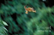 Squirrel Monkey Prints - Squirrel Monkey Leaping With Young Print by Gregory G. Dimijian
