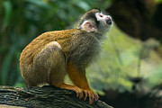 Andrew  Michael - Squirrel Monkey looks up