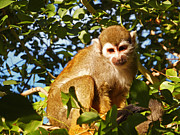 Squirrel Monkey Prints - Squirrel Monkey Print by Methune Hively