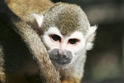 Squirrel Monkey Prints - Squirrel Monkey Print by Photostock-israel