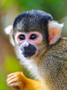 Squirrel Monkey Prints - Squirrel Monkey Print by Picture by Tambako the Jaguar