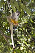 Amazonian Rainforest Prints - Squirrel Monkey Print by Tony Camacho