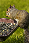 Shoulder Digital Art Metal Prints - Squirrel on Seed Tray Metal Print by Bill Tiepelman
