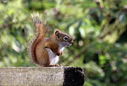 Bushy Tail Photos - Squirrel on the Edge by Marjorie Imbeau