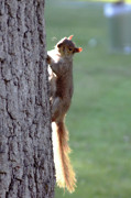 Squirrel Photos - Squirrel by Oriyan