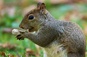 Squirrel Photos - Squirrel by Peter Verdnik