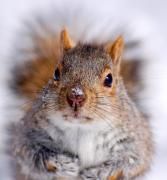 Sciurus Carolinensis Prints - Squirrel portrait Print by Mircea Costina Photography