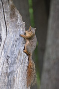 Eastern Fox Squirrel Metal Prints - Squirrels Tree Metal Print by Linda Larson