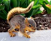 Chip Munk Framed Prints - Squirrely Framed Print by Robert Gallup