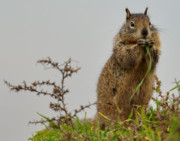 Southern California Photo Originals - Squirrely snacks by Matt MacMillan
