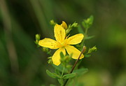 Flower Photos Posters - St Johns Wort Poster by Neal  Eslinger