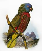 St. Lucia Parrot Prints - St Lucia Amazon Parrot Print by Granger
