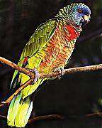 St. Lucia Parrot Prints - St Lucia Parrot Print by Chester Williams