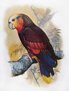 Amazon Parrot Prints - St Vincent Amazon Parrot Print by Granger