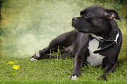 Staffie Prints - Staffie Dog on Grass Print by Ethiriel  Photography
