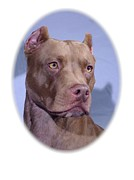 Staffordshire Bull Terrier Framed Prints - Staffordshire Bull Terrier - Amstaff 314 Framed Print by Larry Matthews